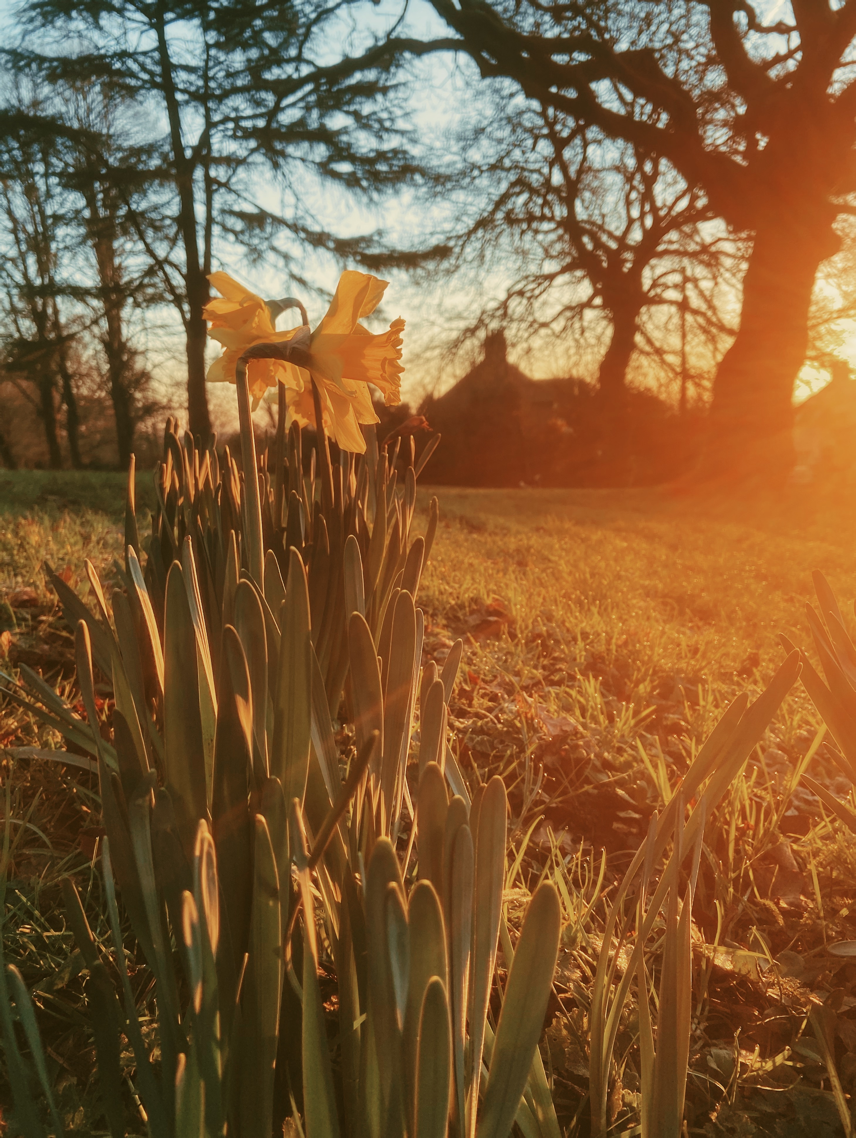 Daffodils blooming in the winter sun
